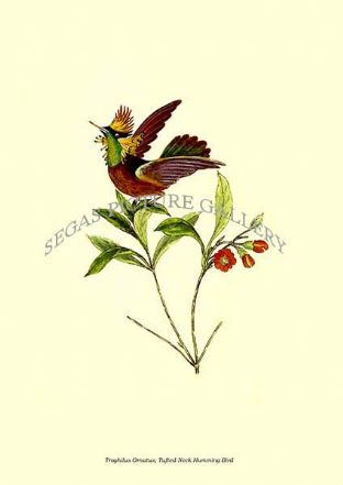 Troghilus Ornatus; Tufted-Neck Humming Bird